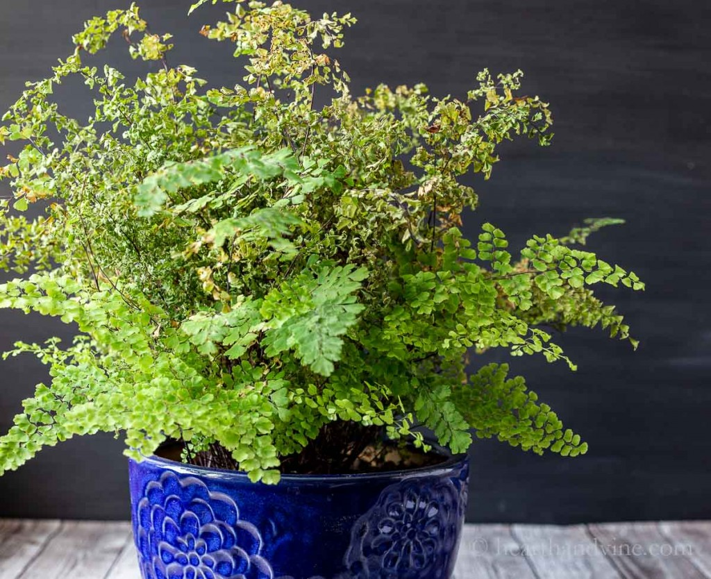Maidenhair fern browning from moving inside.