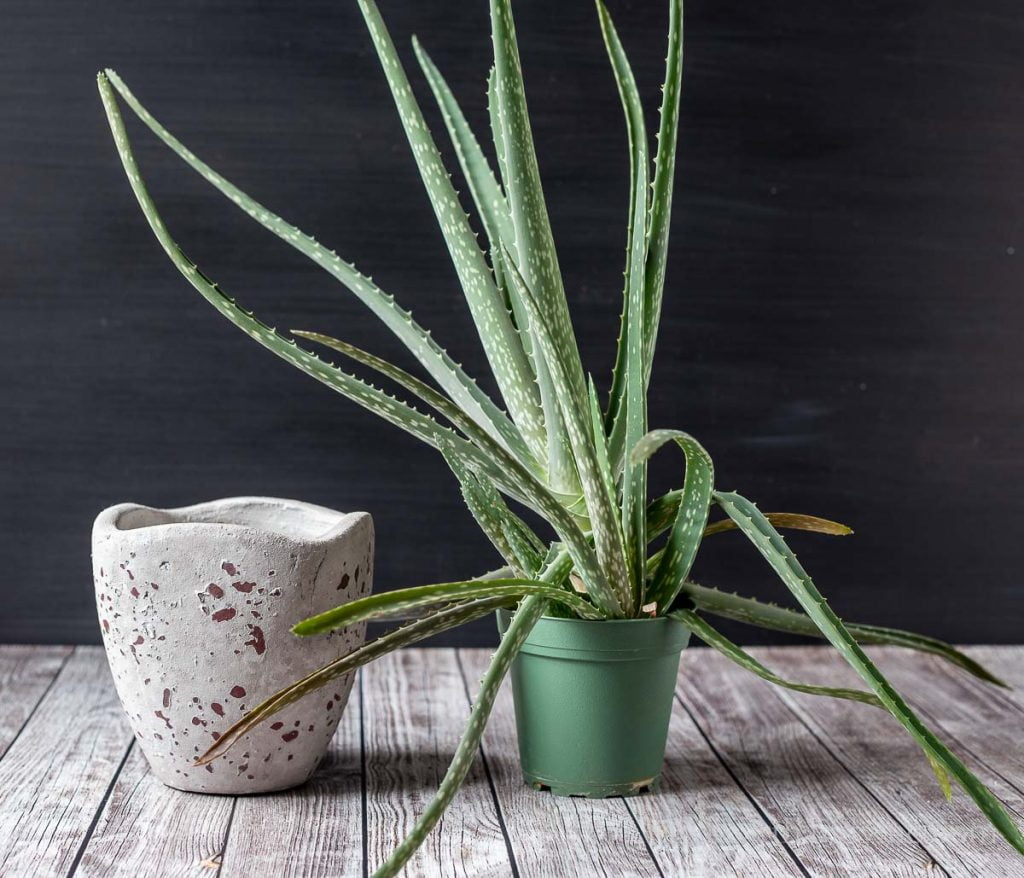 Empty cement pot next to an aloe plant in a nursery pot.