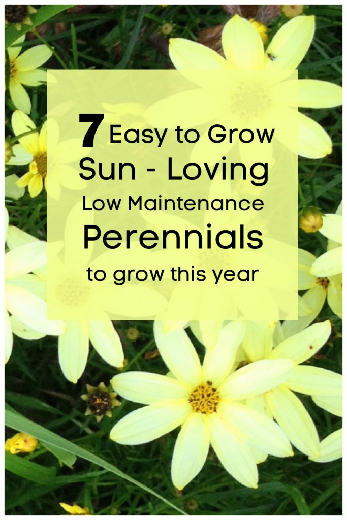 """Coreopsis moonbeam in flower with text overlay. """"7 Easy to grown sun loving low maintenance perennial to grow this year."""""""