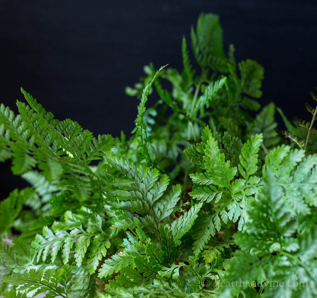 Rabbit's Foot Fern foliage.
