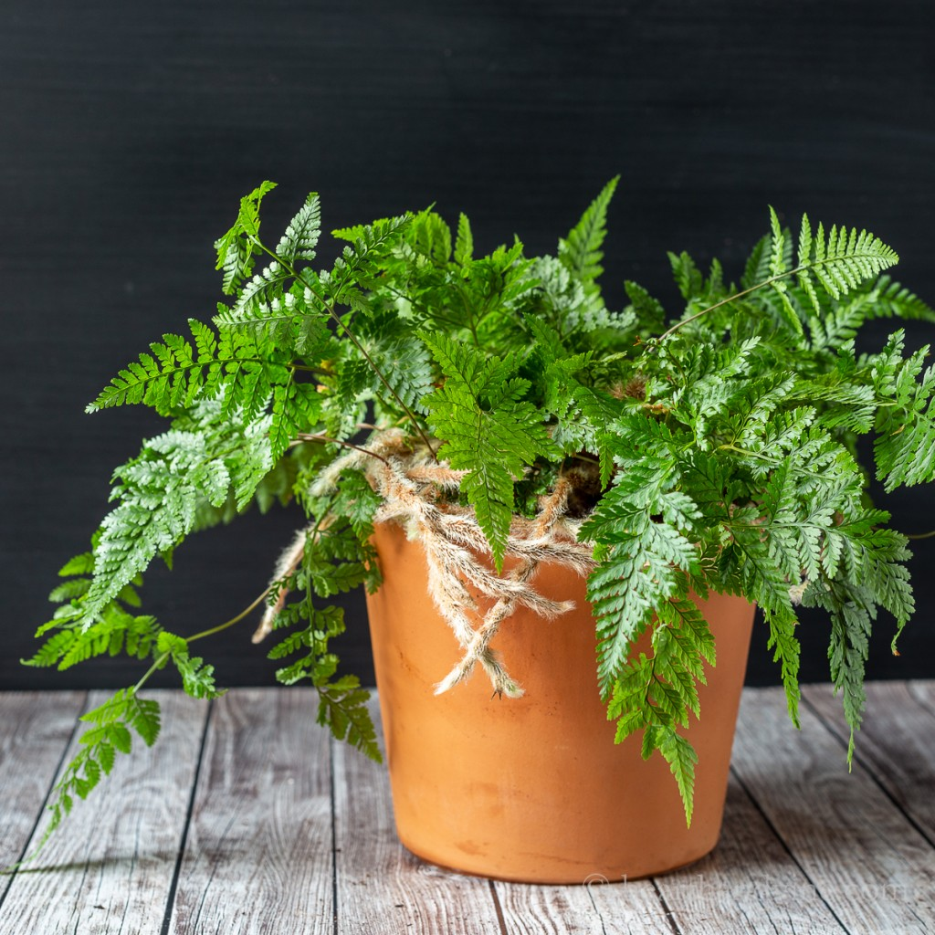 Rabbit's Foot Fern in a clay pot.