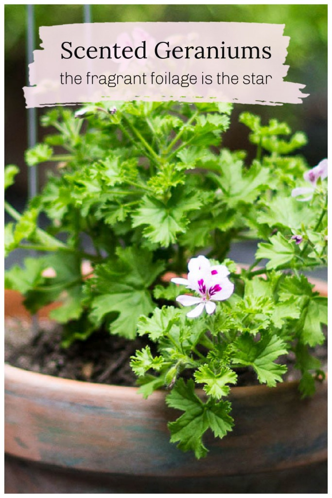 Scented geranium in a clay pot with small blooms.