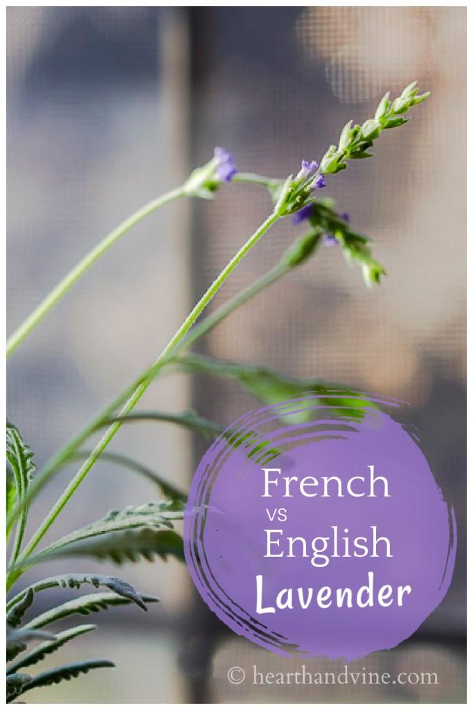 Flower French lavender plant.