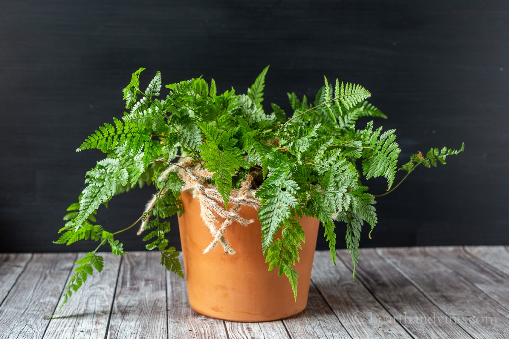 Growing Rabbit's Foot Fern in a clay pot.