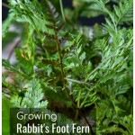 Rabbit's foot fern foliage