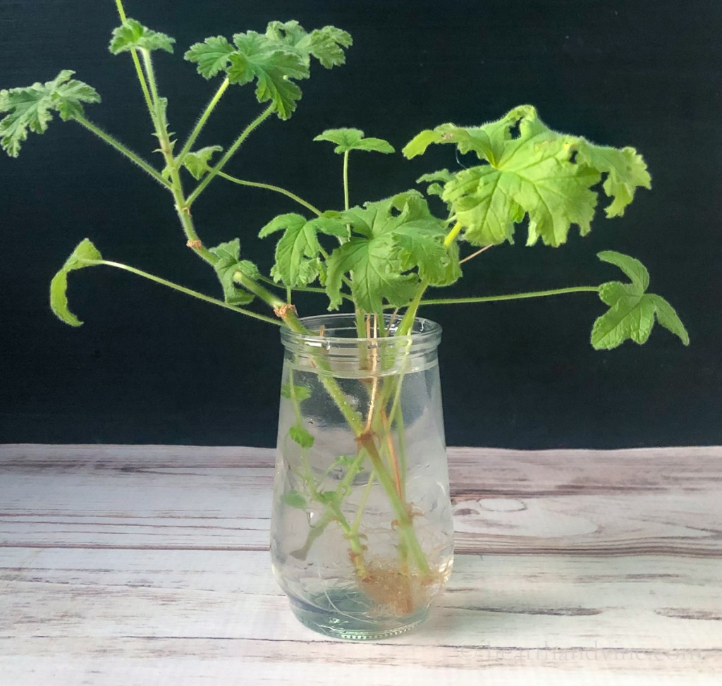 Scented geranium leaves in a glass of water growing roots.