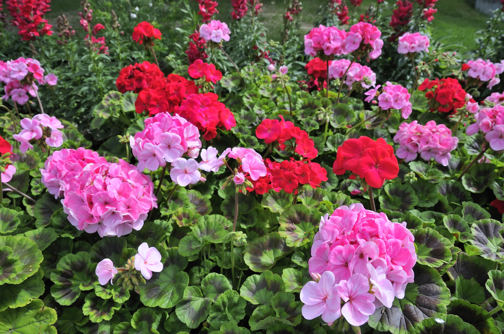 Zonal pink and red nursery geraniums.