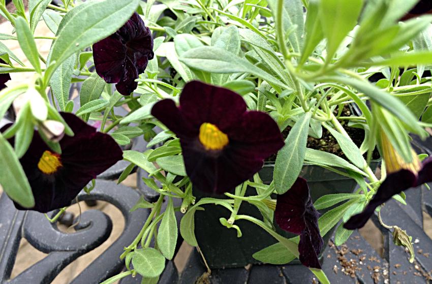 Dark calibrachoa annual flower with a yellow center.