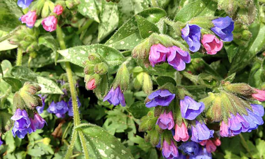Perennial lungwort in pink and purple flowers.