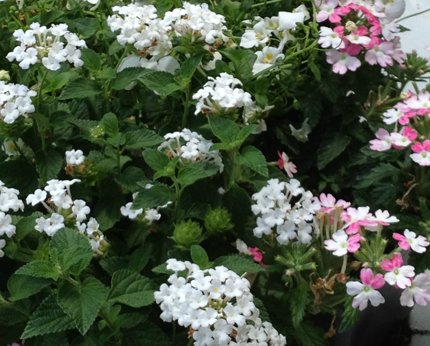 White verbena flowers planted with a white and pink variety.