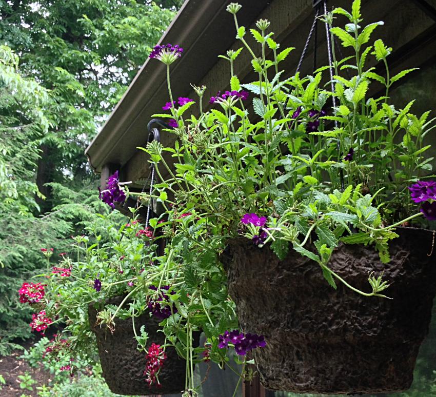 Pots of purple and dark red trailing verbena.