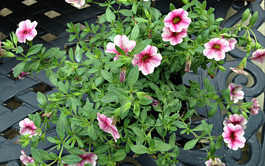 Variegated calibrachoa in pink and white.