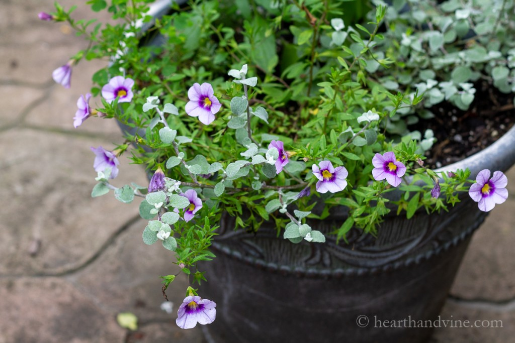 Annual flowers for containers including several varieties for sun and shade like this pot with Calibrachoa in a lavender color with yellow center and dark purple around the yellow.