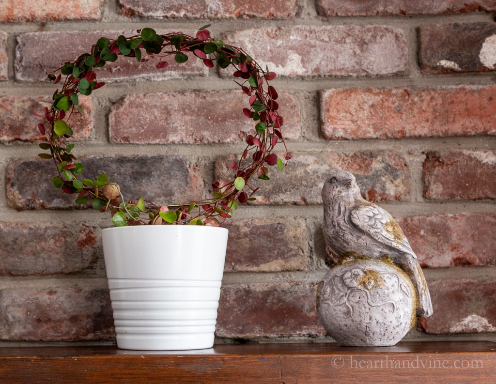 Living topiary on mantel with Peperomia Ruby Cascade.