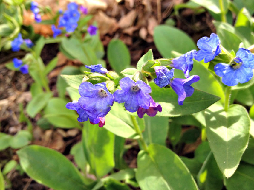 Pulmonaria in bloom with blue and pink flowers.
