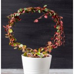 Living topiary in a round hoop with ruby cascade