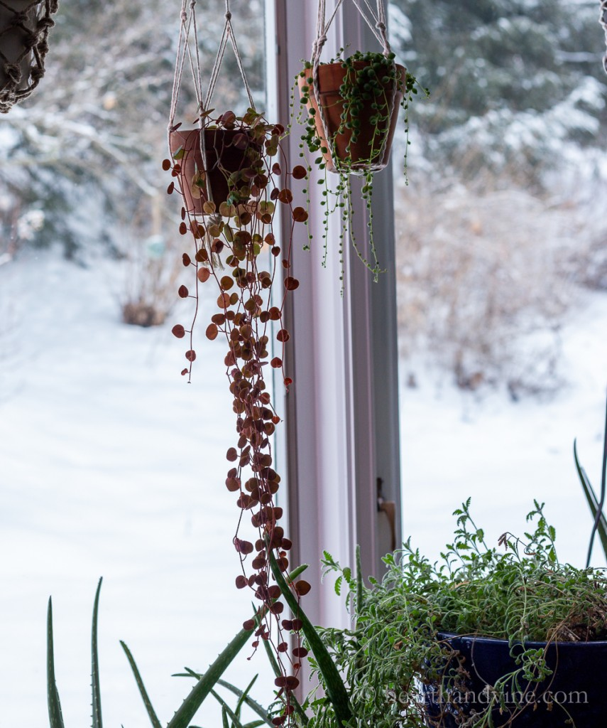 Ruby cascade plant and string of pearls hanging in the window.