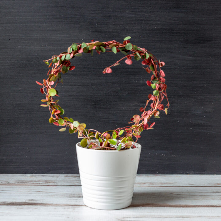 Round wire topiary with peperomia ruby cascade