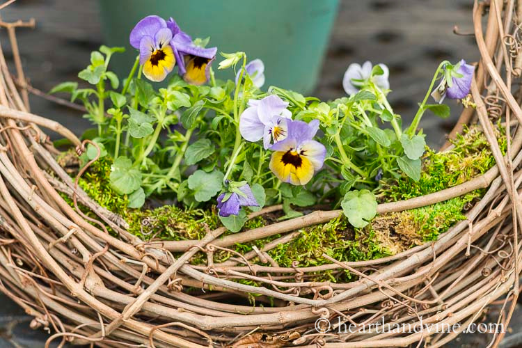 Closeup of a grapevine wreath with violas growing in the bottom center.