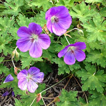 Hardy geranium variety 'Rozanne'
