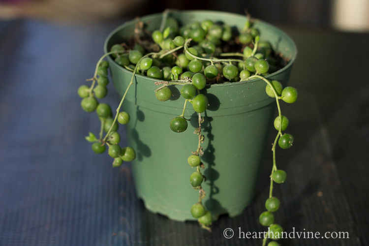 Small string of hearts plant.