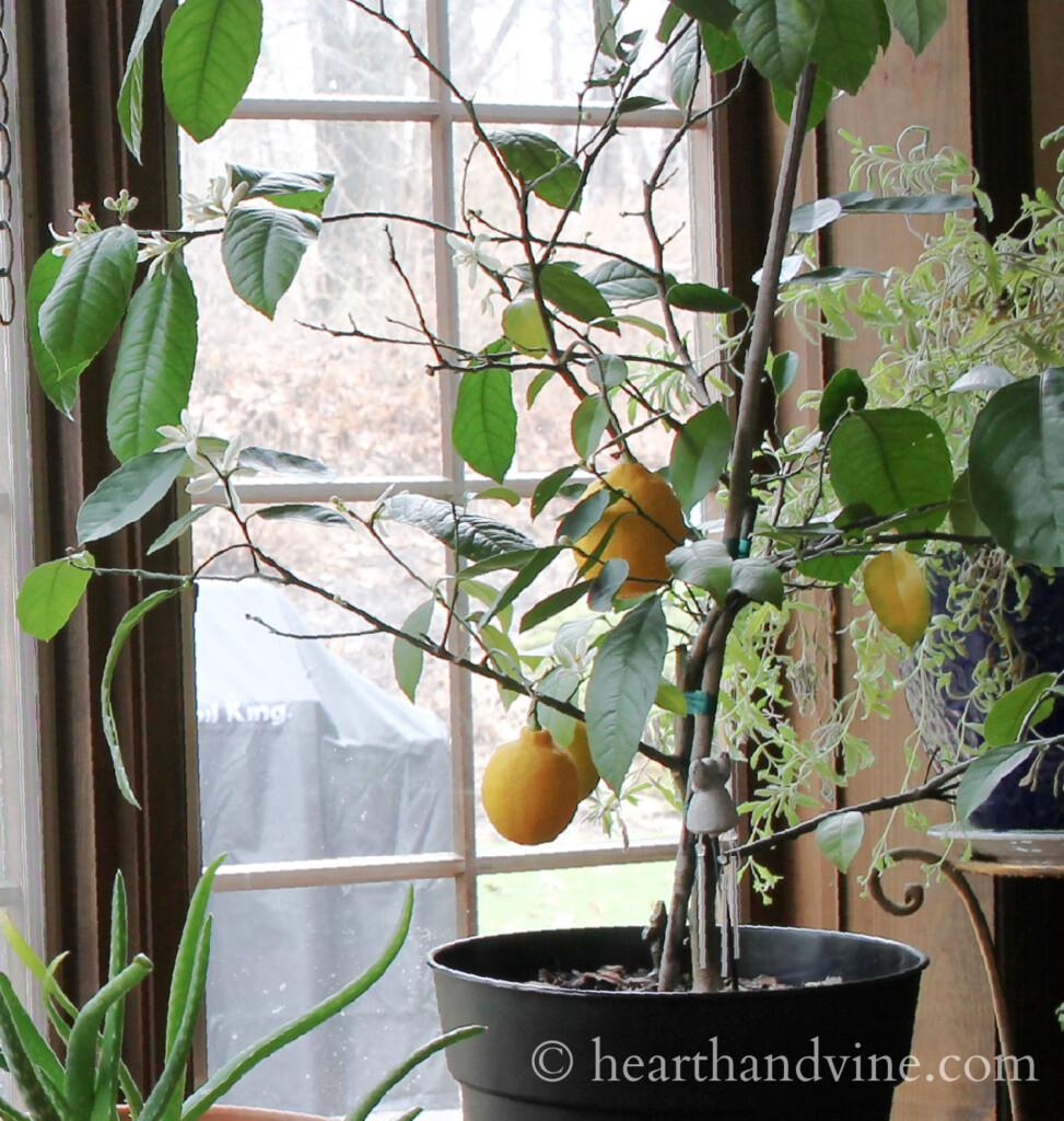 Dwarf Meyer Lemon Tree near window