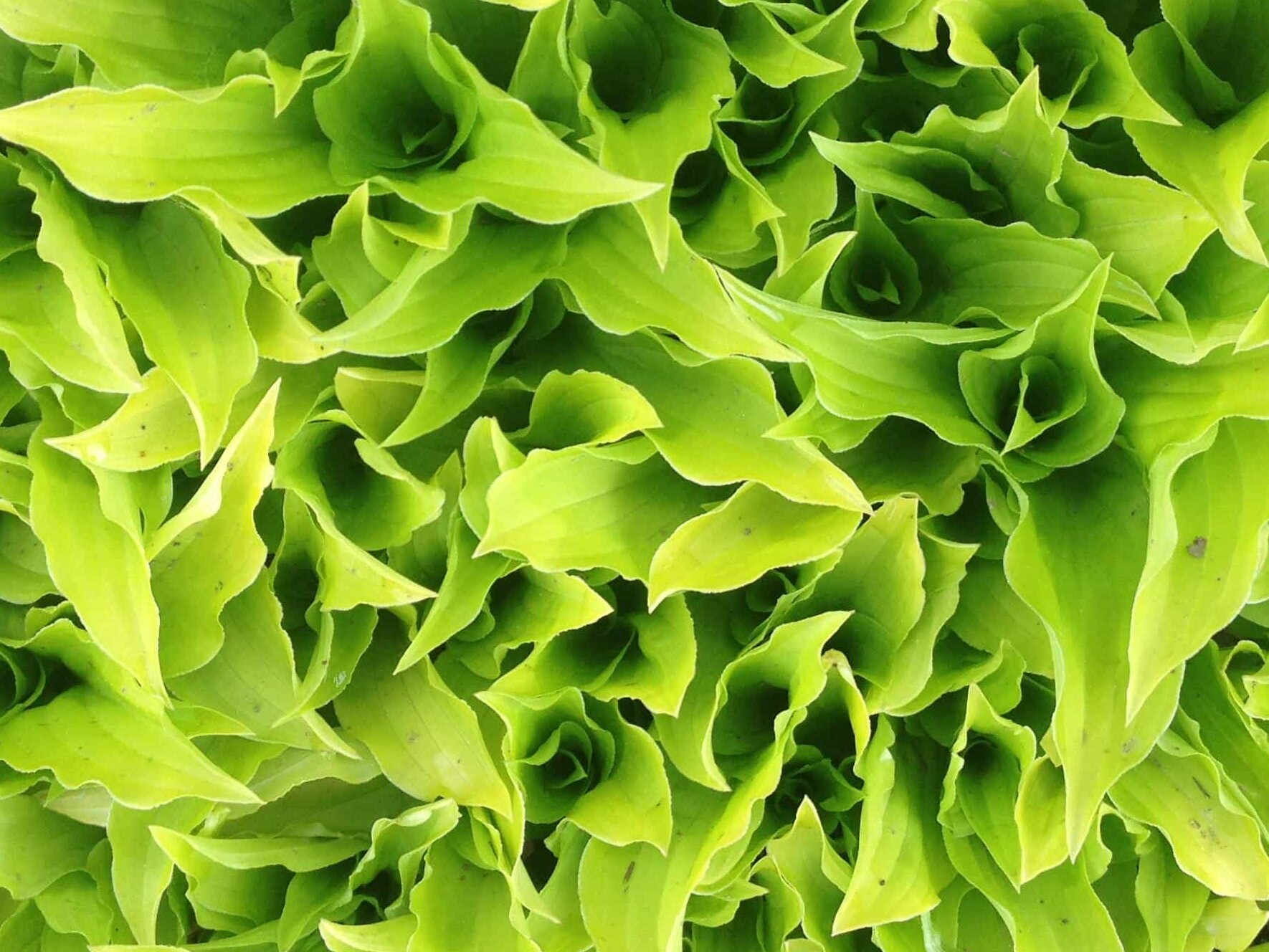 Crowded hosta leaves in a lime color