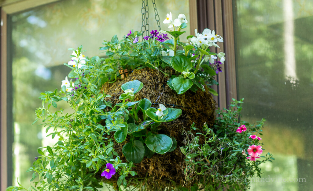 Hanging moss globe planter with flowers after a while.