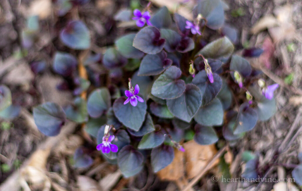 Patch of wild violets growing in the garden.