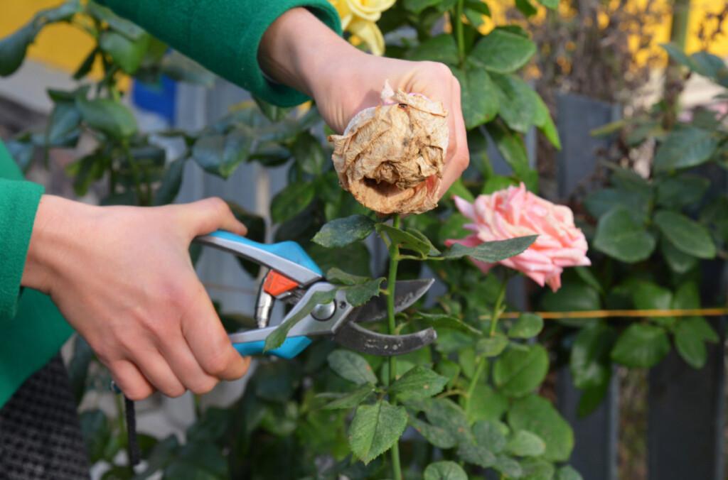 Woman deadheading a faded rose bloom.