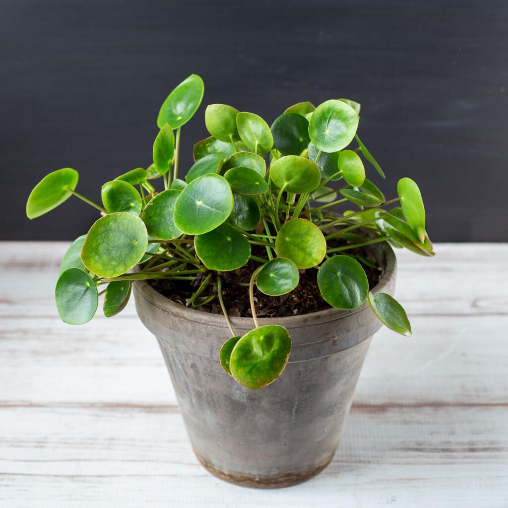 Full pilea plant in clay pot.