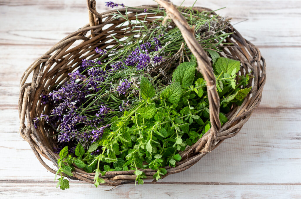 Basket of fresh cut lavender and lemon balm.