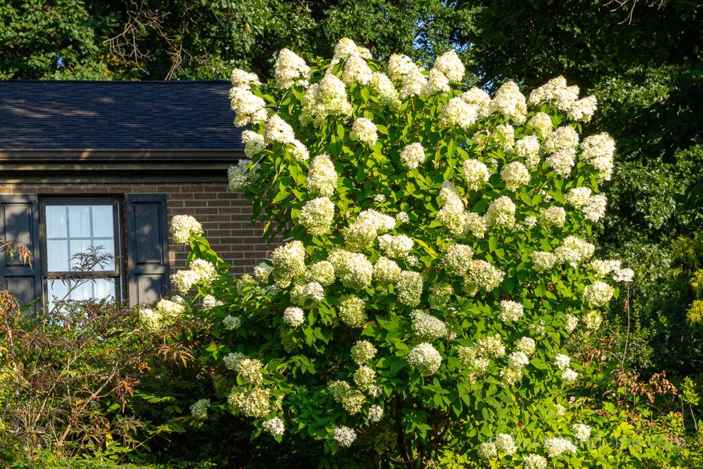 Grande arbusto Limelight Hydrangea em plena floração.