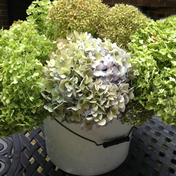 Bucket of drying hydrangeas.
