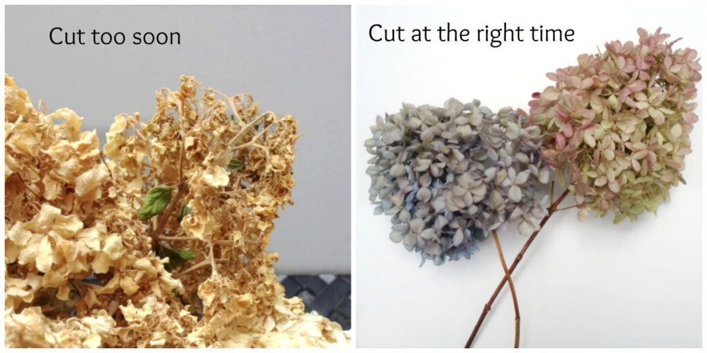 Two images of dried hydrangeas. Left is withered and ugly the right is nicely dried and beautiful.