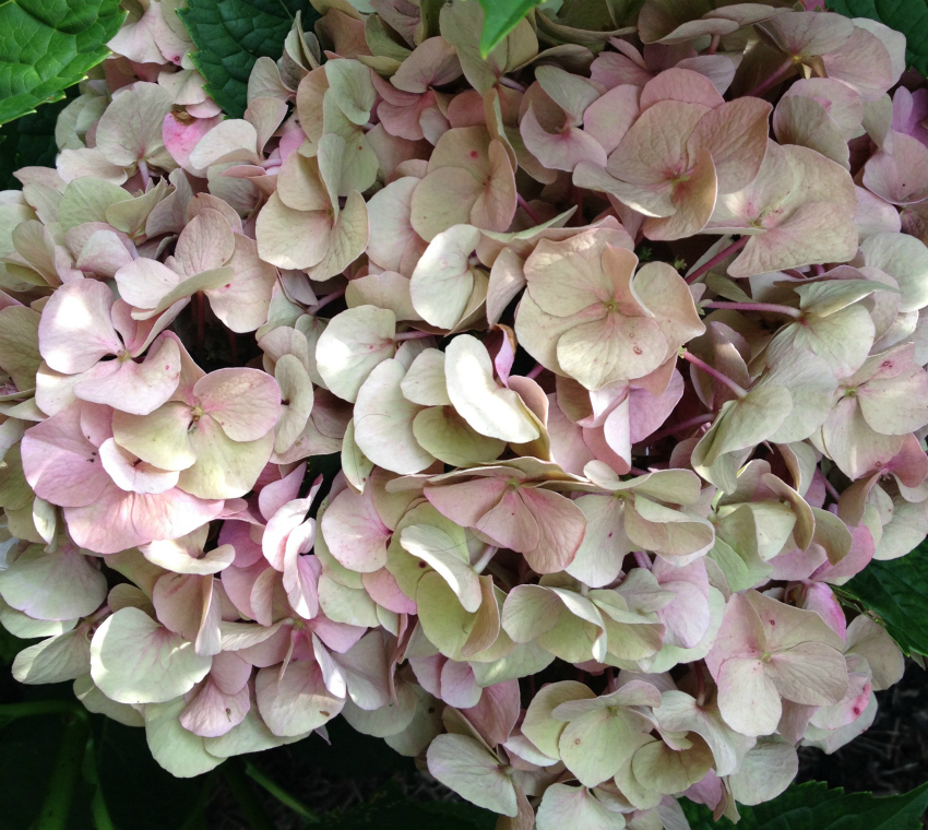 Pink and white dried hydrangea flower.