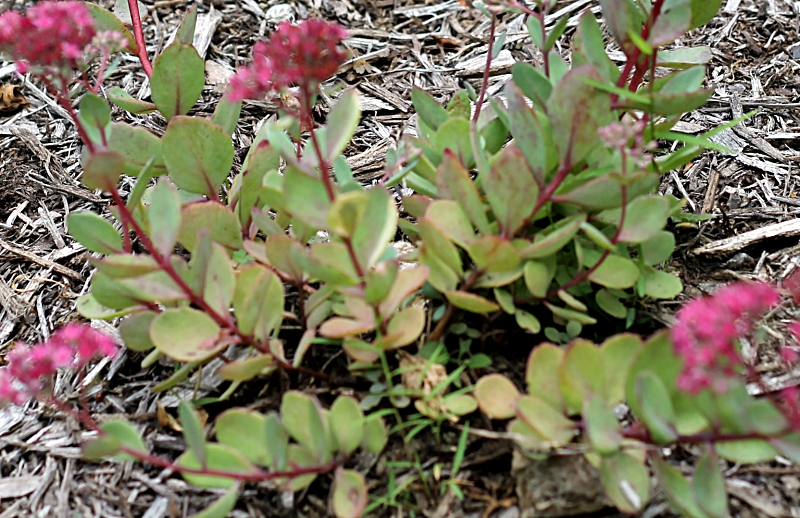 Ground cover sedum with deep pink flowers.