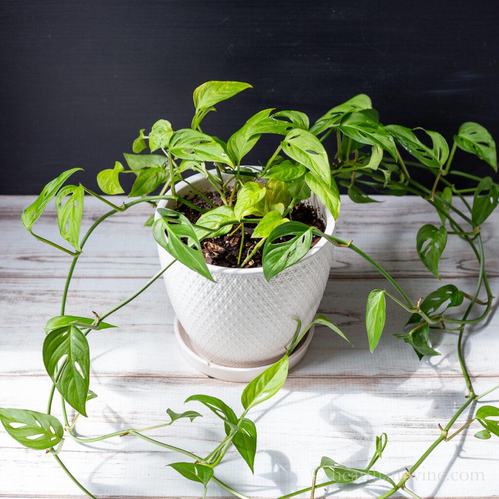 Monstera adansonii in a white pot.
