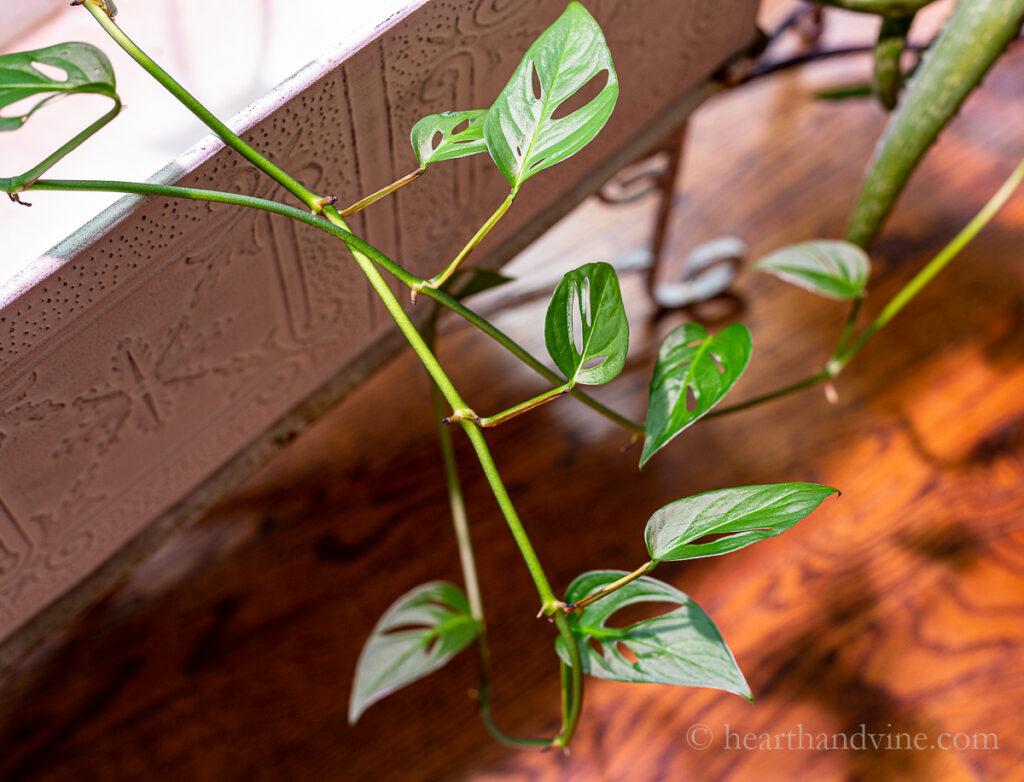 Monstera adansonii leaves