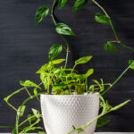 Monstera adansonii plant in a white pot.
