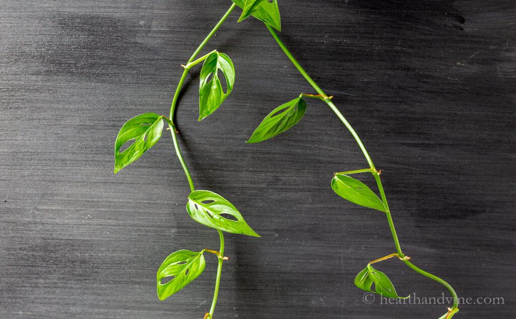 Monstera adansonii or monkey mask plant vining down a chalkboard.