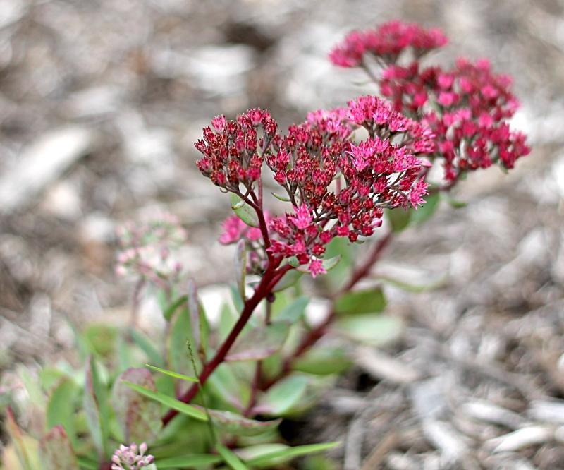 Dark pink flowers on ground cover sedum.