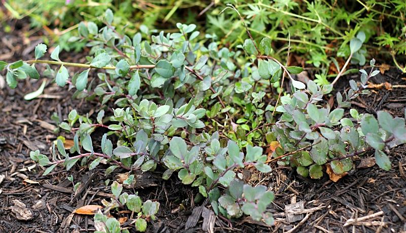 Blue-green ground cover sedum in the garden.