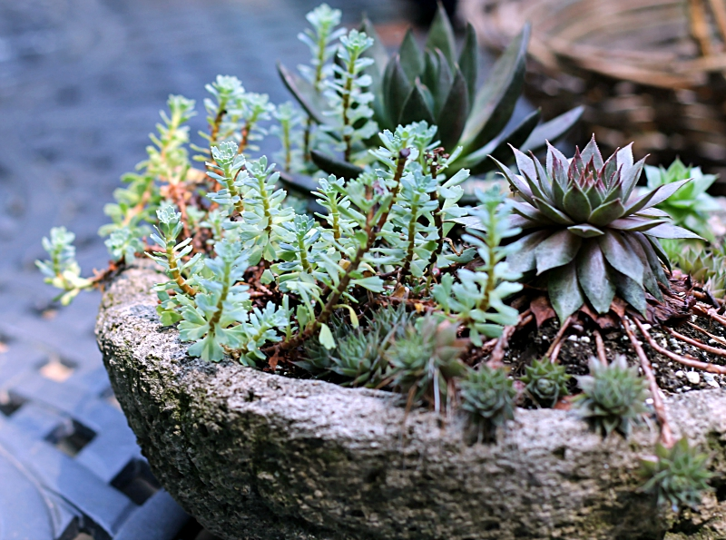 Hypertufa planter with sedum and hens and chicks growing inside.