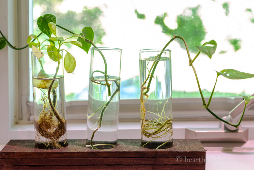 Plant cuttings in tubes of water on a windowsil.