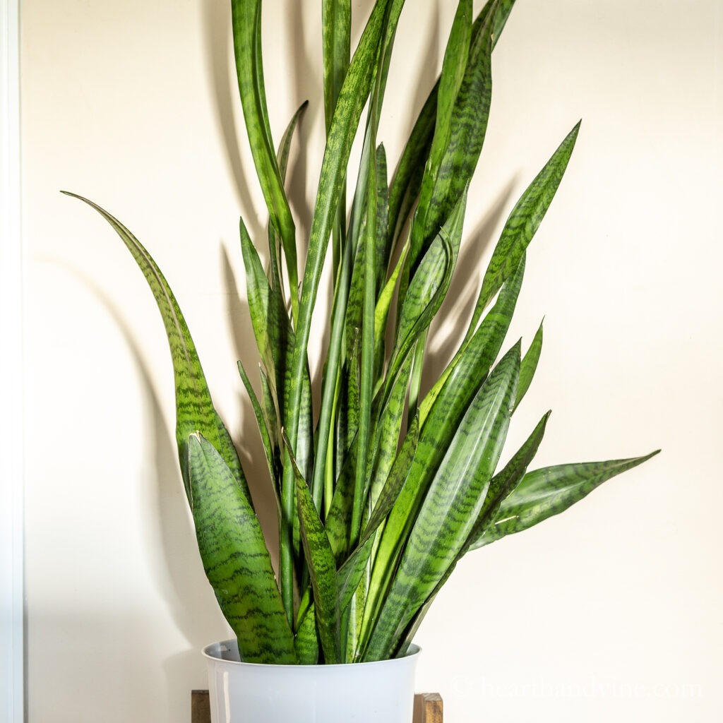 Standard snake plant in a white container.