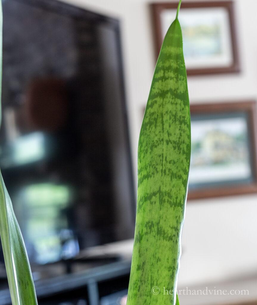 Single Sansevieria trifasciata leaf.