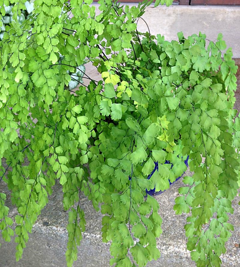 Maidenhair fern on porch