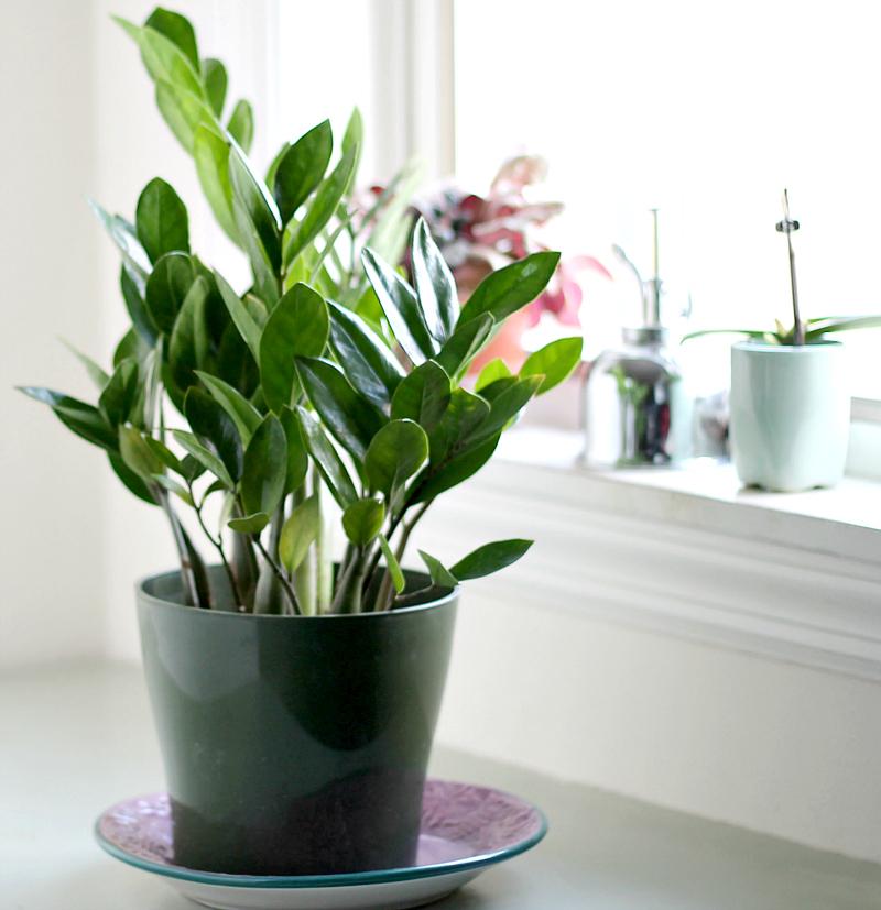 ZZ plant near a window.