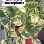 Pothos Pearls and Jade plant